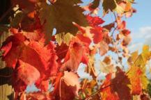 chianti, fiori, vertine d'autunno (1)