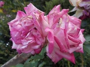 chianti, fiori, vertine d'autunno 2020 (16)