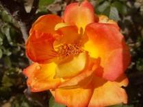 chianti, fiori, vertine d'autunno 2020 (22)