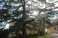 felsina, cedro centenario (1)