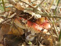 funghi vertine ottobre 2020 (1)