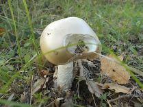 funghi vertine ottobre 2020 (8)