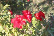 orto felice, foglie rosse autunno 2020 (12)