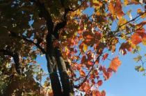 orto felice, foglie rosse autunno 2020 (2)