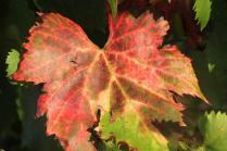 orto felice, foglie rosse autunno 2020 (28)