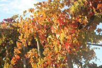 orto felice, foglie rosse autunno 2020 (29)