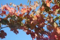 orto felice, foglie rosse autunno 2020 (3)