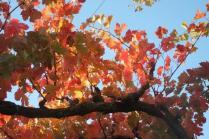 orto felice, foglie rosse autunno 2020 (30)