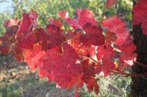 orto felice, foglie rosse autunno 2020 (32)