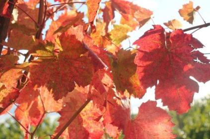 orto felice, foglie rosse autunno 2020 (33)