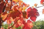 orto felice, foglie rosse autunno 2020 (34)