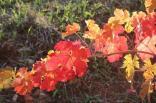 orto felice, foglie rosse autunno 2020 (35)