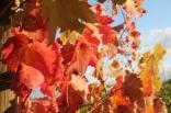 orto felice, foglie rosse autunno 2020 (36)