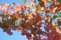 orto felice, foglie rosse autunno 2020 (4)