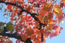 orto felice, foglie rosse autunno 2020 (5)