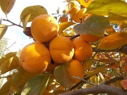 pomo caco diospero (10)