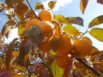 pomo caco diospero (11)