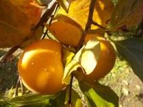pomo caco diospero (2)
