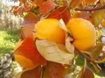 pomo caco diospero (5)