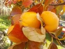 pomo caco diospero (6)