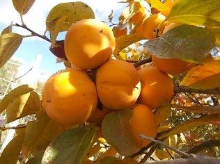 pomo caco diospero (8)