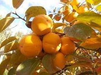 pomo caco diospero (9)