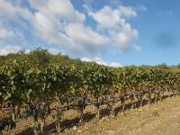 vertine vendemmia 2020 (10)