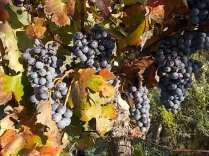 vertine vendemmia 2020 (21)