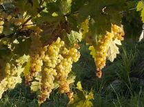 vertine vendemmia 2020 (4)