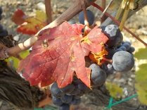 vertine vendemmia 2020 (8)