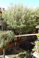 capitozzatura piante vicolo della fortuna siena (3)
