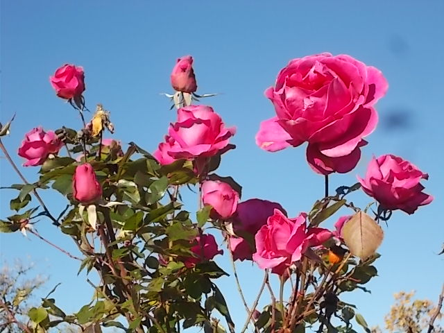 cespuglio di rosa vertine