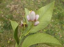zagara limone vertine (1)