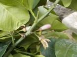 zagara limone vertine (4)