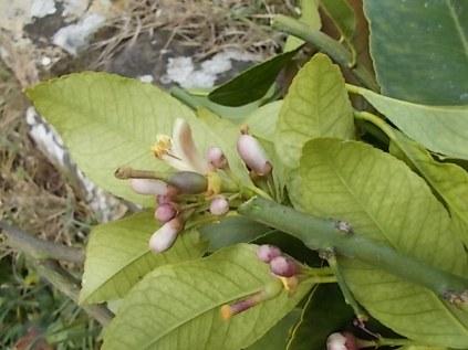 zagara limone vertine (5)
