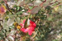 rose vigna san marcellino in colle (1)