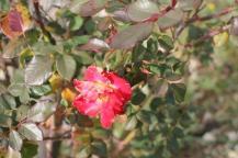 rose vigna san marcellino in colle (2)