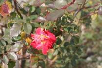 rose vigna san marcellino in colle (3)