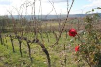rose vigna san marcellino in colle (4)