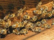 api di vertine (5)