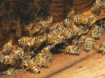 api di vertine (6)