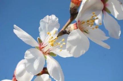 fiore di mandorlo villa a sesta 2021 (5)