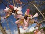 fiore di mandorlo villa a sesta 2021 (7)