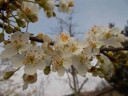fiore di susino (1)