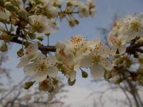 fiore di susino (2)