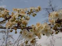 fiore di susino (3)