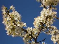 fiore di susino (4)