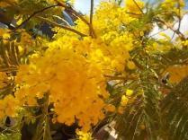 fioritura mimosa 2021 (2)