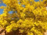 fioritura mimosa 2021 (3)
