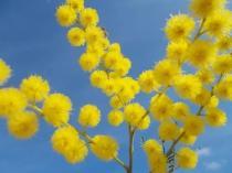 fioritura mimosa 2021 (4)